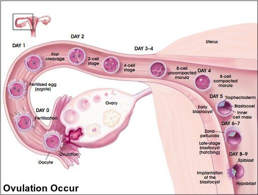 when does ovulation occur
